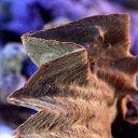 (海水魚 貝 無脊椎)沖縄産 トサカガキ パープル(1匹)