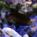 (海水魚)ニラミギンポ(1匹) 北海道・九州・沖縄航空便要保温