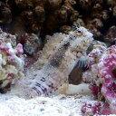(海水魚)沖縄産 ヤエヤマギンポ(ブレニー) Sサイズ コケの掃除(1匹) 北海道・九州・沖縄航空便要保温