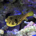(海水魚 フグ)サザナミフグ Mサイズ(1匹)