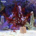 (海水魚 海藻)ライフマルチ 紅藻ミックス(1個) 北海道航空便要保温
