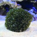 (海水魚 海藻)バロニーボール(タマボロニア)(1個) 北海道航空便要保温