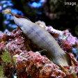 (海水魚 サメ 卵)トラザメのたまご(1匹) 北海道・九州・沖縄航空便要保温