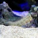 (海水魚)シマギンポ(ブレニー)(1匹)
