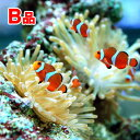 (海水魚 熱帯魚)(B品)カクレクマノミ おまかせバンド(国産ブリード)(1匹) 北海道・九州航空便要保温