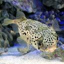 (海水魚 フグ)沖縄産 ハリセンボン Lサイズ(1匹) 北海道・九州航空便要保温