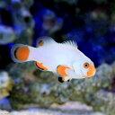 (海水魚)プラチナクラウン(ブリード)(1匹) 北海道・九州・沖縄航空便要保温