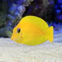 (海水魚)クログチニザ レモンピールタイプ(1匹) 北海道・九州・沖縄航空便要保温