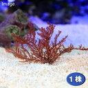 (海水魚 海藻)ホソバノナミノハナ(1株) 北海道・九州・沖縄航空便要保温