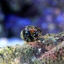 (海水魚 ヤドカリ)ユビワサンゴヤドカリ SSサイズ(1匹)