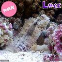 (海水魚)沖縄産 ヤエヤマギンポ(ブレニー) Lサイズ コケの掃除(1匹) 北海道・九州航空便要保温