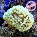 (海水魚 無脊椎)沖縄産 タマイタダキイソギンチャク ライトグリーン S−Mサイズ(1匹)