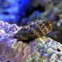(海水魚 貝 無脊椎)ヤクシマダカラガイ 幼貝(1匹) 北海...