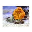 (海水魚)(B品)沖縄産 オレンジスポンジ SMサイズ(1個) 北海道・九州航空便要保温