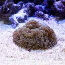 (海水魚 サンゴ)ナガレハナサンゴ おまかせカラー Sサイズ(1個) 北海道航空便要保温