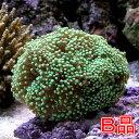 (海水魚 サンゴ)(B品)ツツマルハナサンゴ グリーン(ワイルド)(1個) 北海道航空便要保温