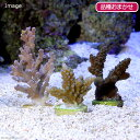 (海水魚 サンゴ)インドネシア産 おまかせミドリイシ プラグ付き(1個) 北海道・九州航空便要保温