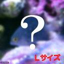 (海水魚)お一人様3点限り おまかせスズメダイ Lサイズ(1匹)