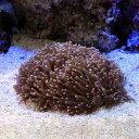 (海水魚 サンゴ)ツツマルハナサンゴ おまかせカラー(ワイルド)(1個) 北海道航空便要保温