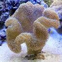 (海水魚 サンゴ)沖縄産 オオウミキノコ Lサイズ(1個)