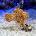 (海水魚 サンゴ)沖縄産 オオウミキノコ Sサイズ(1個) 北海道航空便要保温