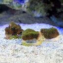 (海水魚 サンゴ)コモンサンゴsp 被覆型 プラグ付き(1個)