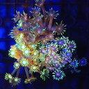 (サンゴ)ハナガササンゴ グリーン プラグ付き(1個) 北海道・九州・沖縄航空便要保温