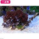 (海水魚 海藻)一点物 ウィードロック ニセフサノリ+海藻ミックス SW-0002 北海道・九州航空便要保温
