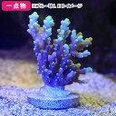 (海水魚 サンゴ)一点物 オーストラリア産ツツハナガサミドリイシ CM−11469(1個) 北海道・九州航空便要保温 沖縄別途送料