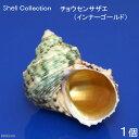 (海水魚 貝殻)シェルコレクション チョウセンサザエ(インナーゴールド) Mサイズ(1個)(形状おまかせ)