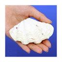 (海水魚 貝殻)シェルコレクション シャコガイ ミックス MLサイズ(1組)(形状お任せ) オカヤドカリ食器