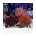 (海水魚 海藻)ガラガラ 種類おまかせ(1個) 北海道航空便要保温