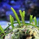 (海水魚 海藻)ビャクシンヅタ 岩なし(1房) 北海道航空便要保温