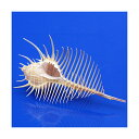 (海水魚 貝殻)シェルコレクション ホネガイ Lサイズ(1個)(形状お任せ)
