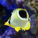 (海水魚)沖縄産 セグロチョウチョウウオ(1匹) 北海道・九州・沖縄航空便要保温