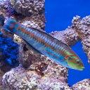 (海水魚)ニシキベラ(1匹) 北海道・九州・沖縄航空便要保温