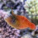 (海水魚)ヌリワケカワハギ(1匹) 北海道・九州・沖縄航空便要保温