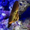(海水魚)ナンヨウツバメウオ 幼魚(1匹) 北海道・九州航空便要保温