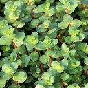 (水草)ロタラ インディカ(水上葉)(無農薬)(10本) 北海道航空便要保温
