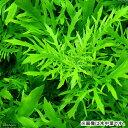 (水草)ウォーターウィステリア(水上葉)(無農薬)(3本) 北海道航空便要保温