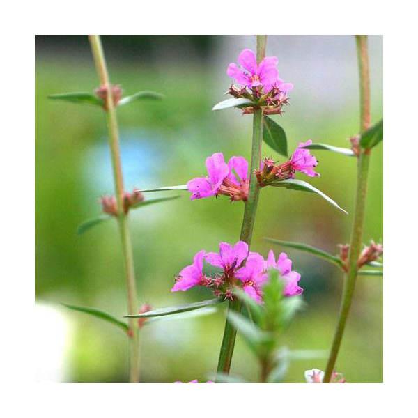 (ビオトープ/水辺植物)ミソハギ(1ポット)【HLS_DU】...:chanet:10096625