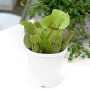 (食虫植物)サラセニア プルプレアSSPベノーサ 3号(1ポット)