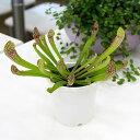 虫を捕食する脅威の植物!一風変わったインテリアにも!(食虫植物)サラセニア スカーレットベル 3号(1ポット)