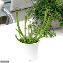 虫を捕食する脅威の植物!一風変わったインテリアにも!(食虫植物)サラセニア ファーンハミー 3号(1ポット)