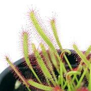 (食虫植物)アフリカナガバモウセンゴケ(ドロセラ カペンシス) 赤花 3号(1ポット)