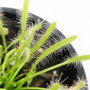 (食虫植物)アフリカナガバモウセンゴケ(ドロセラ カペンシス) 白花 3号(1ポット)