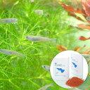 (めだか)黒メダカ初心者セット 黒メダカ(6匹)+小型魚用フード ff num03 40ml 本州・四国限定