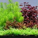 (水草 熱帯魚)おまかせ水上葉 レイアウトセット 20cm水槽用 4種(無農薬)(1パック)(水草説 ...
