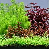 (水草 熱帯魚)おまかせ水上葉 レイアウトセット 20cm水槽用 4種(無農薬)(1パック)(水草説明書付)