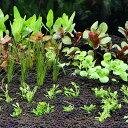 (水草 熱帯魚)おまかせ水上葉 レイアウトセット 30cm水槽用 6種(無農薬)(1パック)(水草説 ...